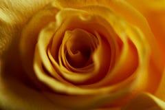 一朵黄色玫瑰的特写镜头 关闭 纹理或背景 免版税库存照片