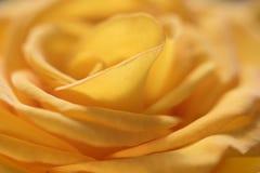 一朵黄色玫瑰的背景 免版税库存图片