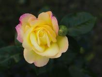 一朵黄色玫瑰的花 库存照片