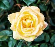 一朵黄色玫瑰细节照片  免版税库存图片