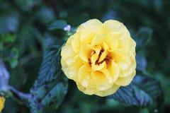 一朵黄色玫瑰 库存照片