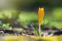 一朵黄色番红花的宏观射击用水滴下对此 免版税库存图片