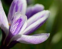 一朵紫色番红花花的特写镜头 库存图片