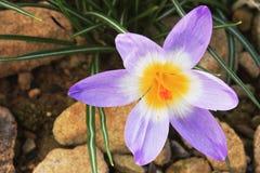 一朵紫色番红花 库存照片