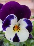 一朵紫色白色紫罗兰的特写镜头 免版税库存照片