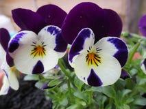 一朵紫色白色紫罗兰的特写镜头 库存照片