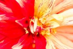 一朵黄色红色大丽花的宏指令-培育品种疯子 库存图片
