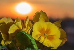 一朵黄色美丽的报春花的花,反对日落背景  免版税图库摄影