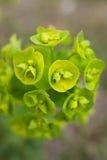 一朵绿色花的图片 免版税库存照片