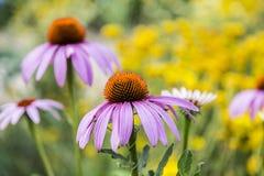 一朵紫色花的特写镜头在一个黄色领域的 免版税库存照片