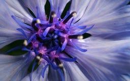 一朵紫色花的特写镜头照片背景或纹理的 免版税库存图片