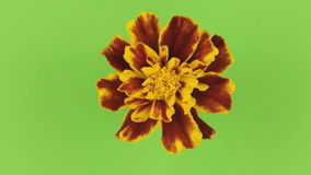 一朵黄色花的缓慢的自转在绿色背景的,锁上 股票视频