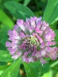 一朵紫色花 图库摄影