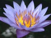 一朵紫色莲花 库存图片