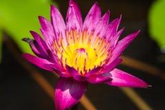 一朵紫色莲花 免版税库存图片