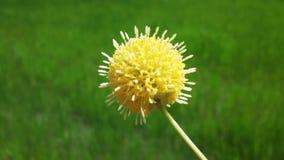 一朵黄色蓬松花 库存照片