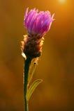 一朵紫色野花的特写镜头照片在领域的 免版税库存图片
