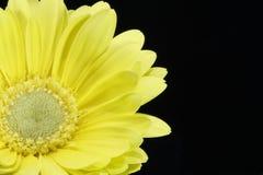 一朵黄色雏菊的美丽的宏观射击 库存图片