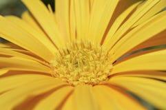 一朵黄色雏菊花的特写镜头 库存图片
