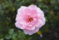 一朵floribunda罗莎`王冠`桃红色花 免版税库存照片