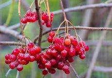 一朵guelder玫瑰的红色莓果在秋天从事园艺 免版税库存照片