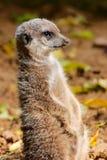 一机敏的meerkat 库存图片