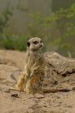 一机敏的meerkat 免版税库存图片