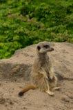 一机敏的meerkat 免版税图库摄影