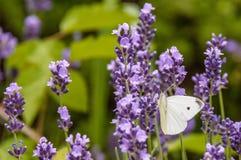 一束与一只白色蝴蝶的淡紫色坐一个词根 库存图片