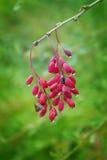 一束伏牛花红色和成熟莓果  宏指令 免版税库存图片
