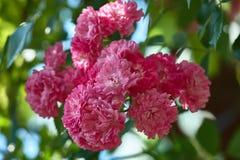 一束在分支的桃红色装饰玫瑰 接近的宏观照片雌蕊玫瑰色玫瑰雄芯花蕊 库存照片