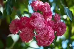 一束在分支的桃红色装饰玫瑰 ros宏观照片  免版税库存照片