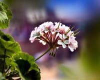 一束在模糊的背景的白色大竺葵花 图库摄影