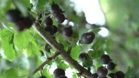 一束在灌木的黑醋栗每束在灌木的黑醋栗 股票视频