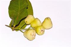 一束在白色被隔绝的背景的新鲜和甜印度白色朔望性samarangense或Java苹果或蜡苹果果子 免版税库存照片