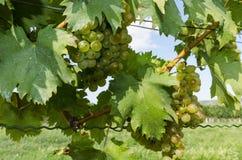 一束在葡萄树的成熟葡萄 免版税图库摄影
