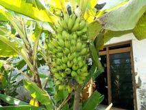 一束小香蕉结果实(夫人手指)在树 免版税库存图片