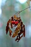 一束山脉灰在秋天森林里 免版税库存图片