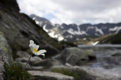 一束柔和的白花在石头增长反对湖和山的背景 免版税库存图片