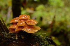 一束橙黄蘑菇在一个雨天以后-细节 免版税库存图片