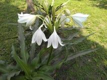 一束白花在庭院里 库存图片