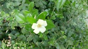 一束白花在庭院里 库存照片