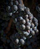 一束的特写镜头红葡萄酒葡萄 免版税库存照片