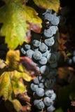 一束的特写镜头红葡萄酒葡萄 库存图片