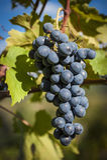 一束的特写镜头红葡萄酒葡萄 库存照片