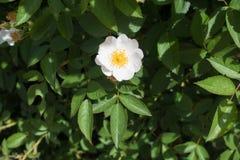 一束简单的白花上升了 免版税库存照片