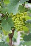 一束绿色葡萄 免版税库存图片