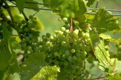 一束绿色葡萄 库存照片