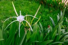一束美丽的白花在一个绿色庭院里增长 库存图片