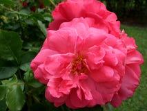 一束美丽的英国兰开斯特家族族徽在绿色叶子的庭院里 免版税库存照片